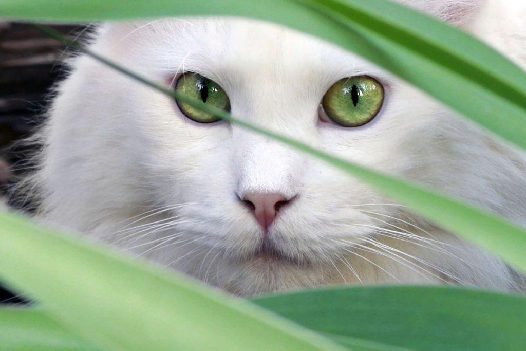 Gatos Blancos y sus curiosidades -portada