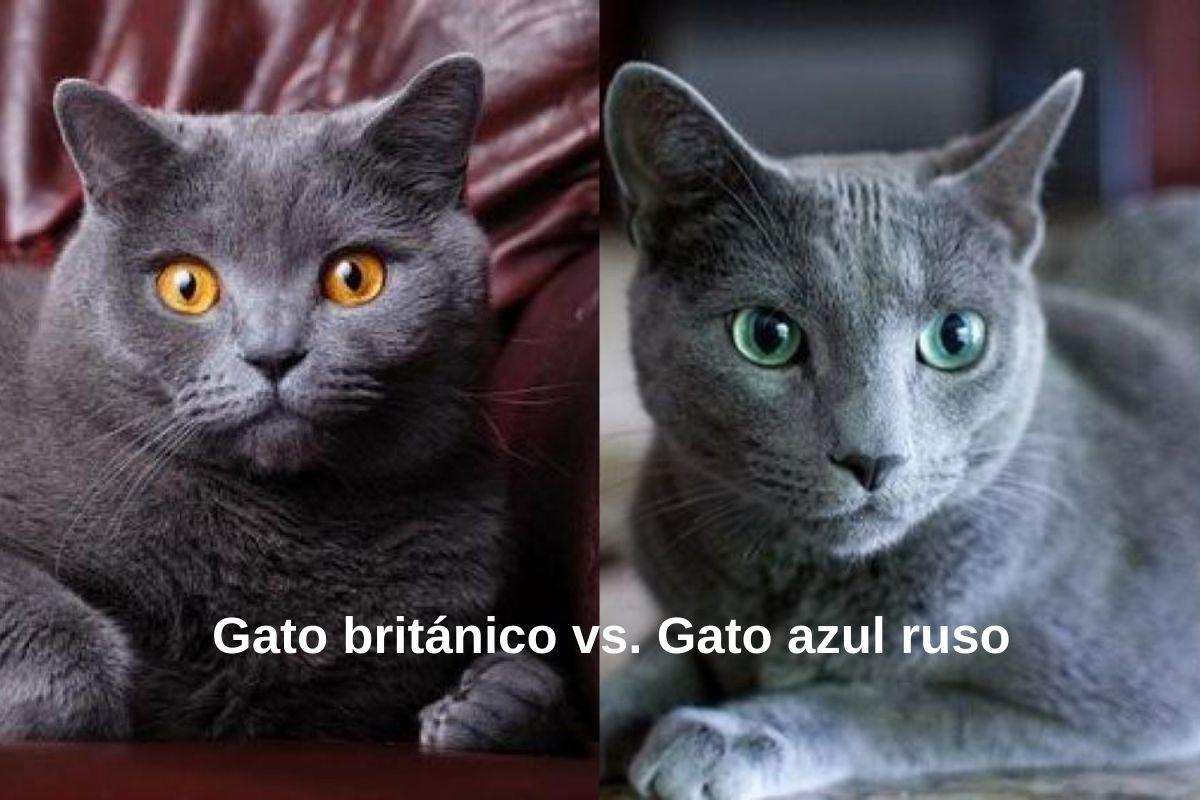 gato británico-gato azul ruso