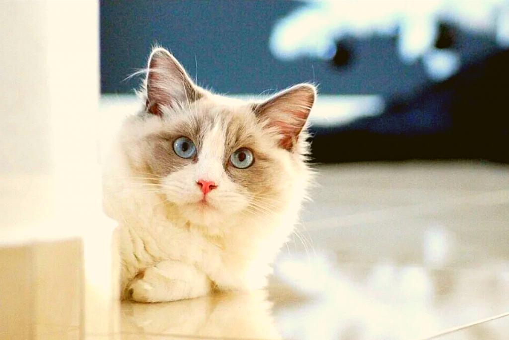 gato para niño-Ragdoll
