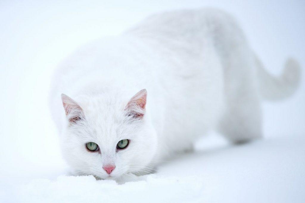 curiosidades de los gatos blancos -nieve