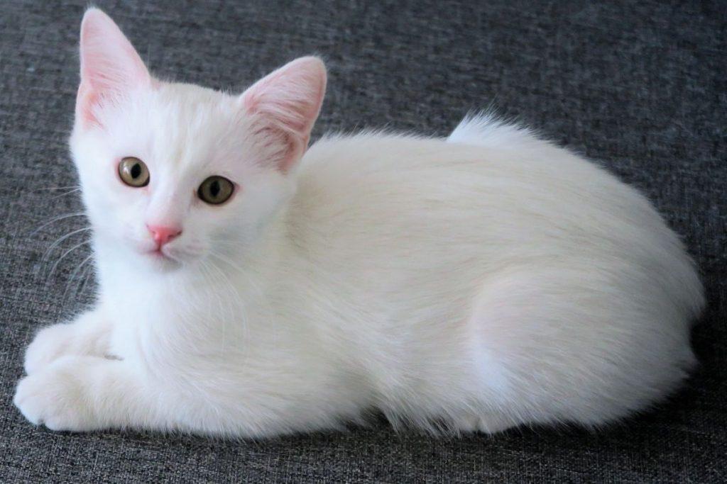 curiosidades de los gatos blancos -tranquilidad