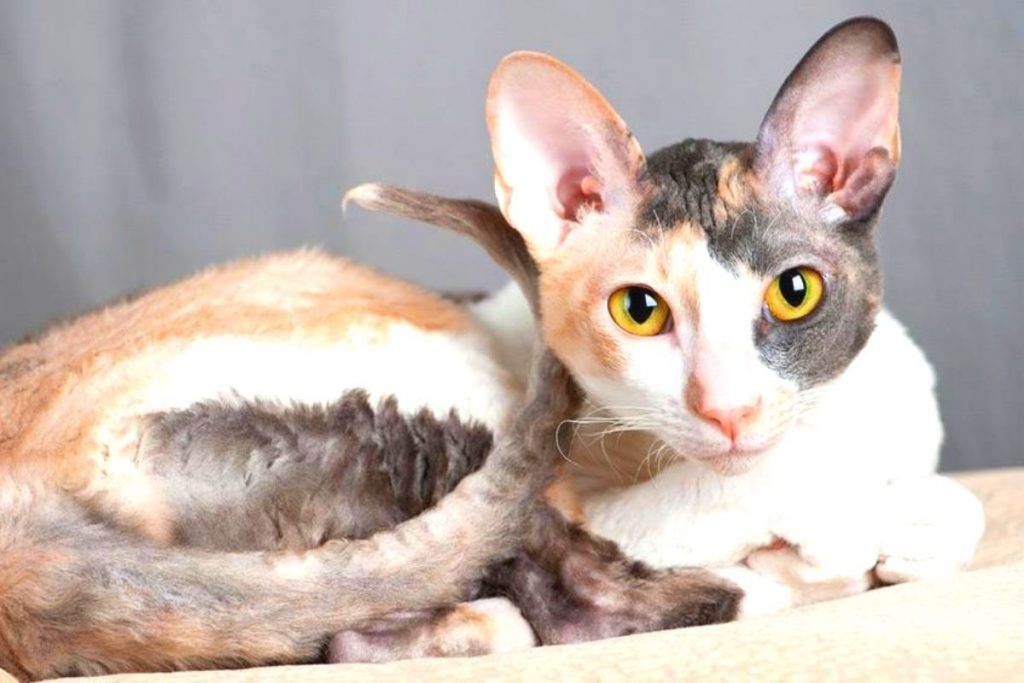 gatos más populares-Gato Cornish rex