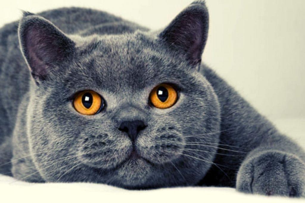 gato británico