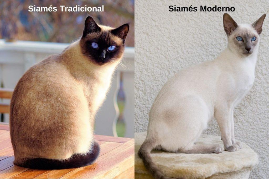 tipos de gato siamés