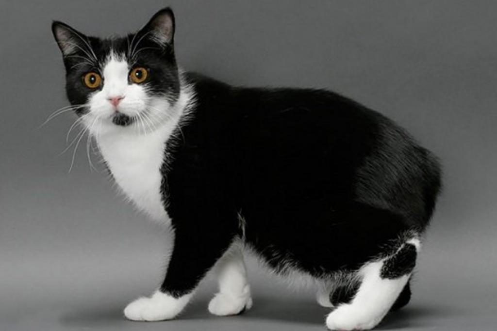 gato para niños-gato Manx