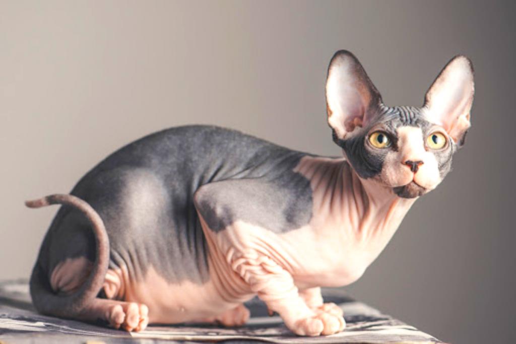 Gato para niños-Sphynx o gato esfinge
