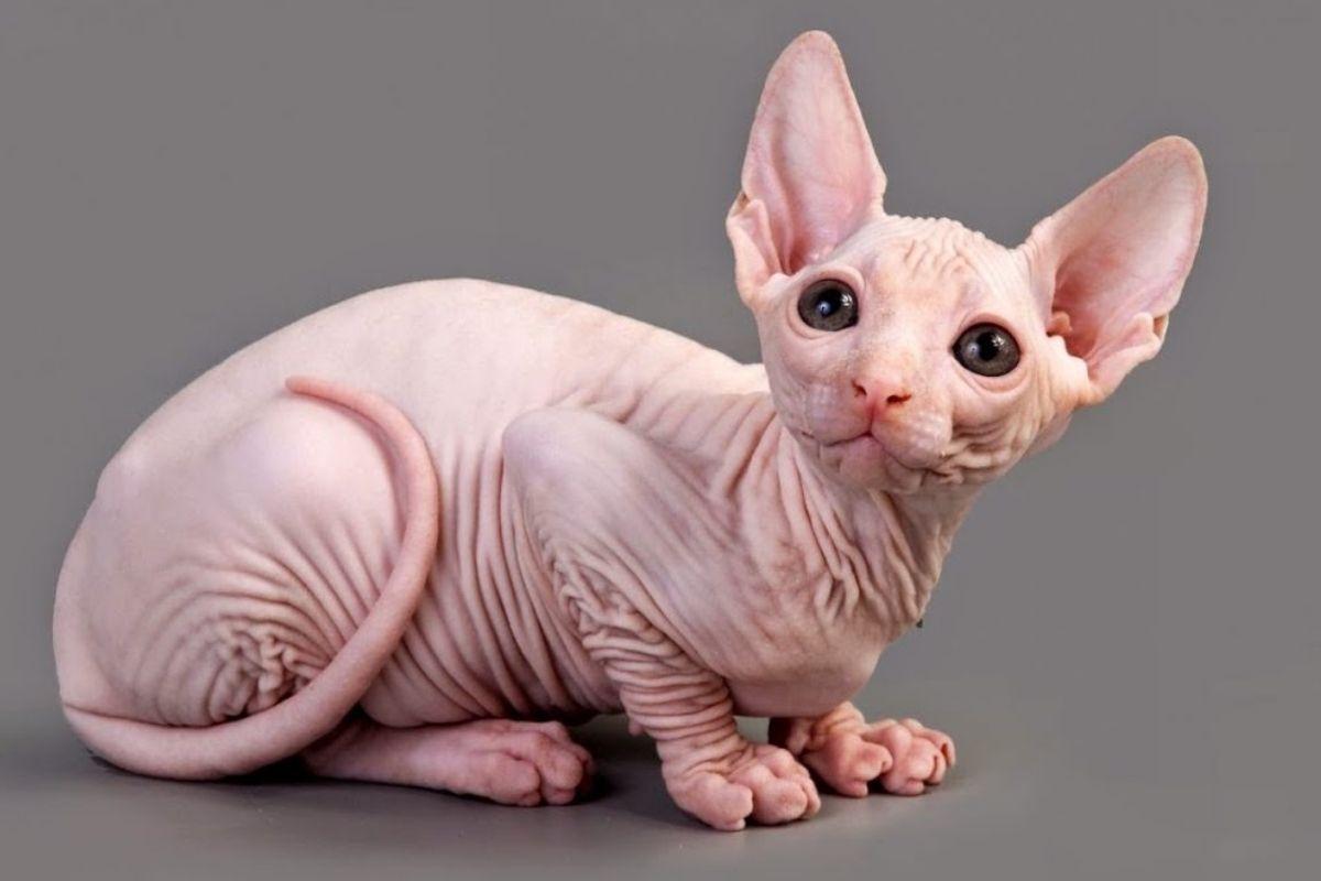 razas de gatos raros