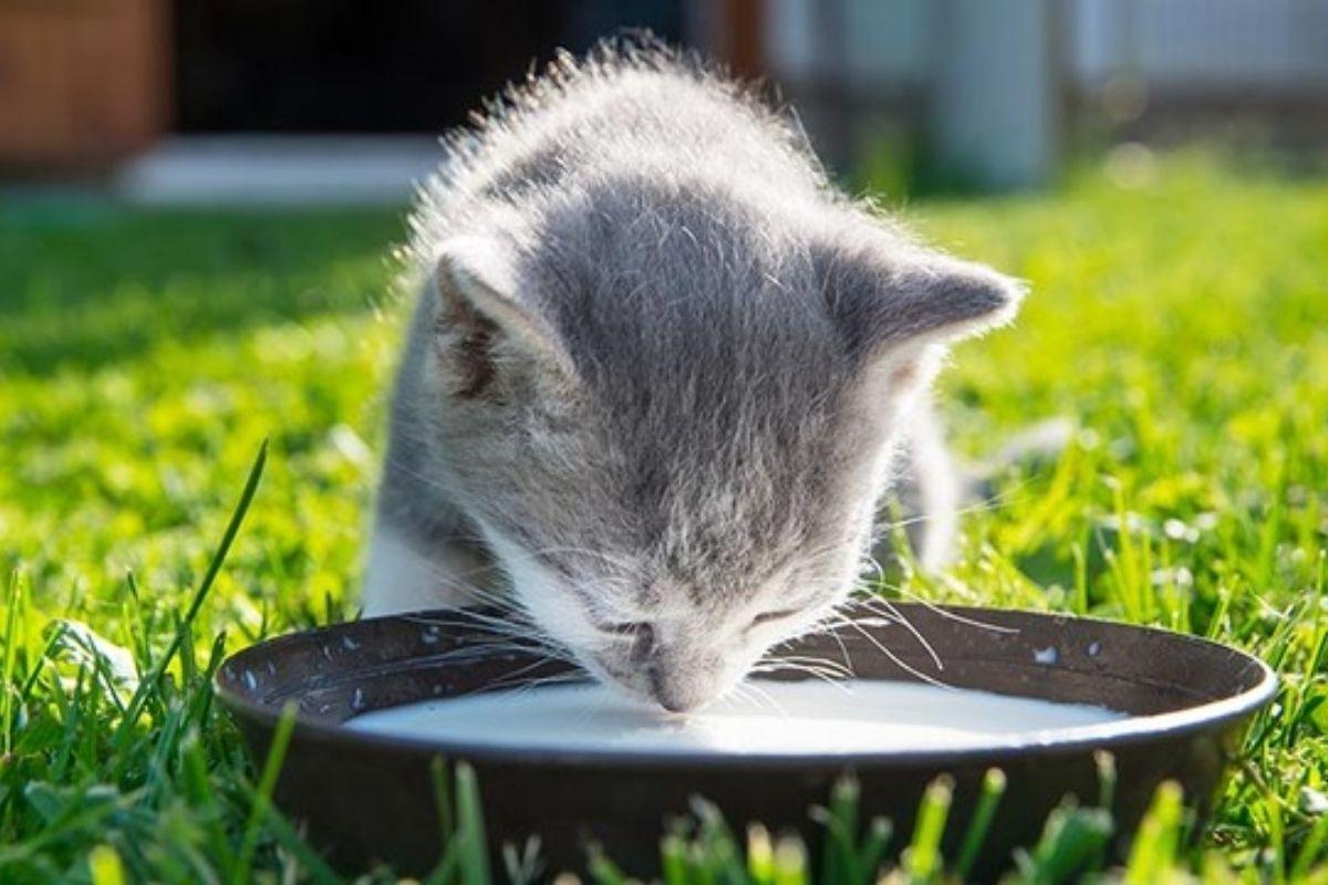 leche para gatos