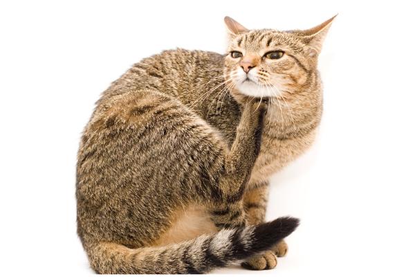 Es posible que pueda prevenir las costras en los gatos antes de que sucedan.  Un gato atigrado marrón con comezón.