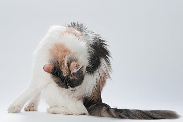 Un gato lamiendo y acicalando su trasero.