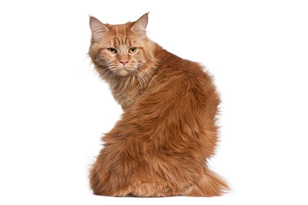Un gato atigrado de color naranja jengibre mirando hacia atrás en su trasero.