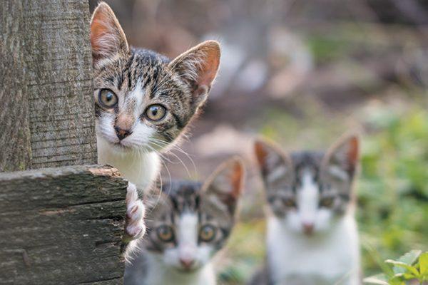 Gatos salvajes asomándose detrás de una valla.