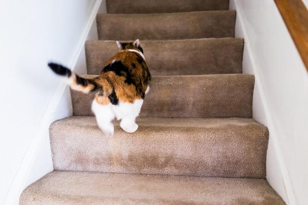 Un gato calicó subiendo las escaleras.